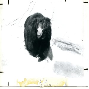 Sloth Bear Black and White Facing Forward 1983