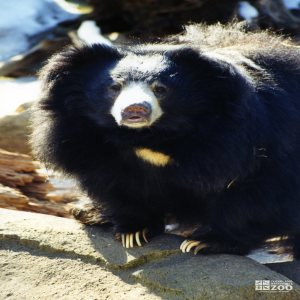 Sloth Bear Looking Forward