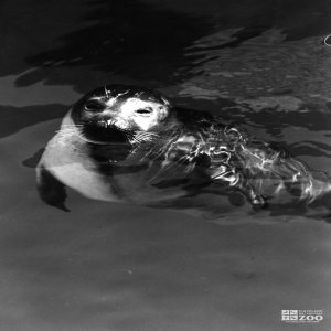 Harbor Seal Black and White Of Face 2