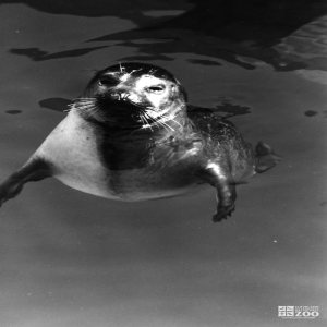 Harbor Seal Black and White Looking Straight 1986