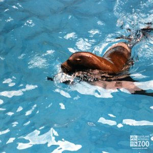 California Sea Lion Gliding Through The Water