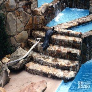 California Sea Lion Gliding Down Steps