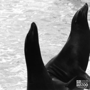 California Sea Lions In Profile Black and White