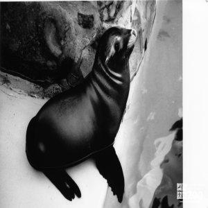 California Sea Lion Baby In Profile