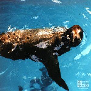 California Sea Lion In Profile Looking Right