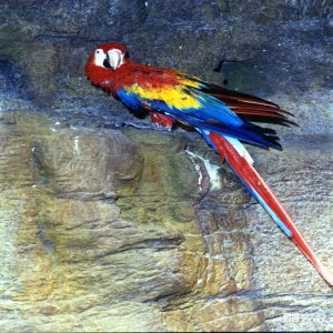 Scarlet Macaw Up Close On Ledge