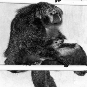 Pale-Headed Saki With Baby On Branch Fall 1986
