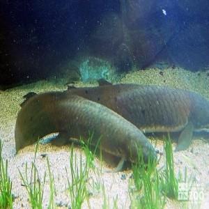 Australian Lungfish Pair