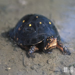Spotted Turtle up close