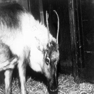 Reindeer Female Winter 1988