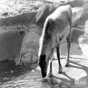 Reindeer Drinking Water