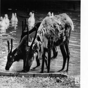 Three Reindeer Drinking Water