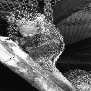 Prehensile-Tailed Porcupine Black and White Up Close