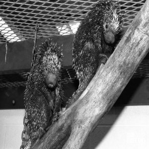 Two Prehensile-Tailed Porcupines Facing Forward