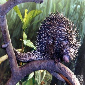 Prehensile-Tailed Porcupine Up Close 2