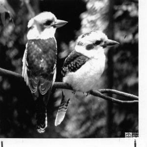 Kookaburras, Laughing