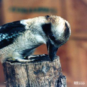 Kookaburra Standing on a Post 3