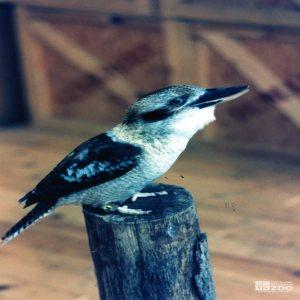 Kookaburra Standing on a Post 4