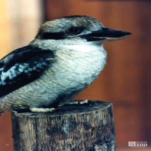 Kookaburra Standing on a Post 5