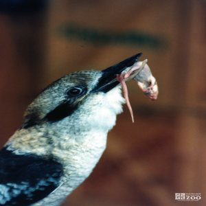Kookaburra Eating a Mouse 4