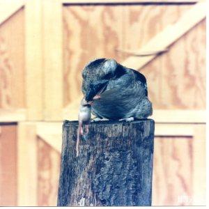 Kookaburra Eating a Mouse 5