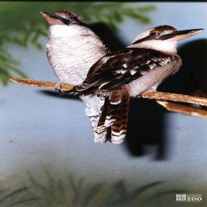 Kookaburras, Laughing 2