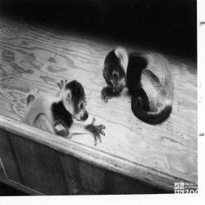 Red Ruffed Lemur Babies