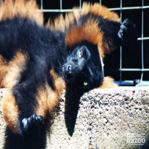 Red Ruffed Lemur on Back