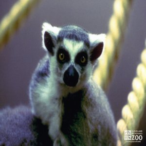 Ring-Tailed Close-up