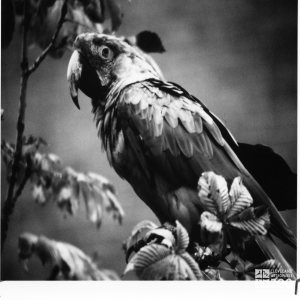 Scarlet Macaw in Black-and-White
