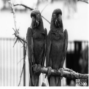 Scarlet Macaws in Black-and White