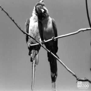 Scarlet Macaws in Black-and White 2