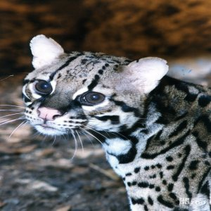 Ocelot Close-up