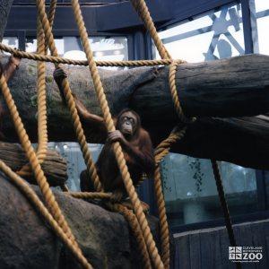 Orangutan in Tree 2