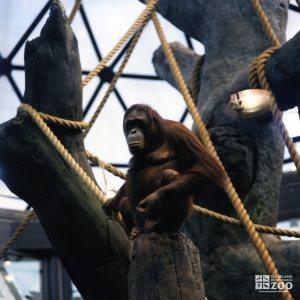 Orangutan in Tree 3