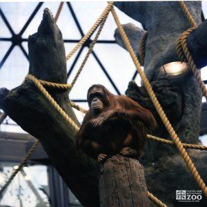 Orangutan on Post
