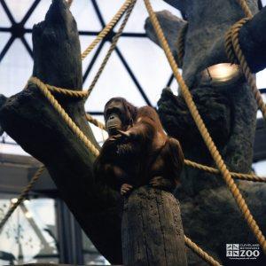 Orangutan on Post 2