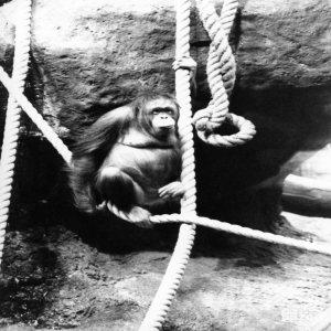 Orangutan in Black-and-White