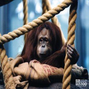 Orangutan with Burlap