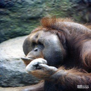 Orangutan 4
