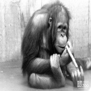 Orangutan in Black-and-White 3