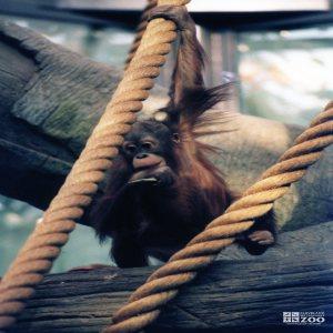 Orangutan in Tree 4