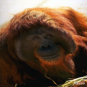 Orangutan Close-up