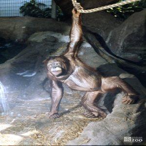 Orangutan on Rope