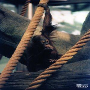 Young Orangutan 3