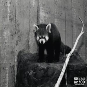 Red Panda Black and White