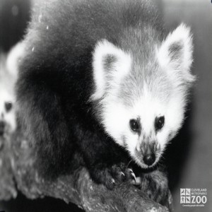 Red Panda Black and White Up Close