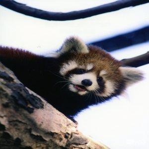 Red Panda Up Close Smiling