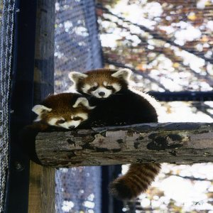 Red Pandas On Log In Exhibit