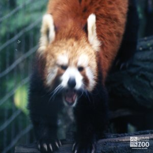 Red Panda Showing Us His Teeth